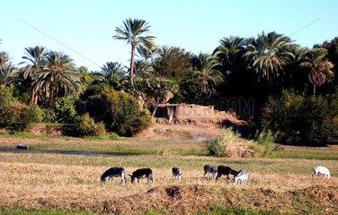 Aegypten Nilufer