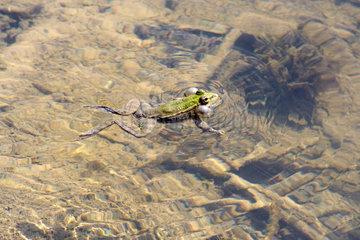 Alanya  ein Frosch in einem Teich