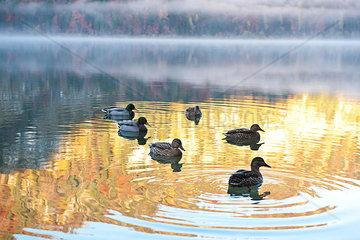 Wildenten im ersten Morgenlicht