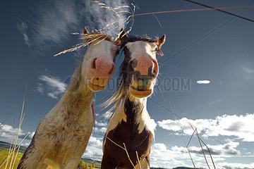 Zwei neugierige Arbeitspferde auf einer Wiese