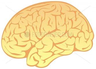 Gehirn Gehirnwindungen freigestellt