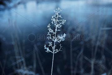 Wintergras