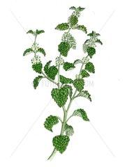Andorn Marrubium vulgare freigestellt Serie Heilkraeuter Wildkraeuter