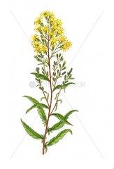 Echte Goldrute Solidago virgaurea freigestellt Serie Wildpflanzen Heilpflan