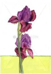Iris Blumenstiele