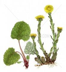 Huflattich Tussilago farfara freigestellt Serie Wildpflanzen Heilpflanzen