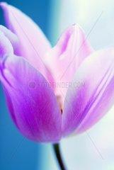 lila Tulpe 2
