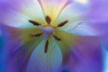 Tulpenkern