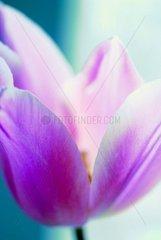 lila Tulpe 3