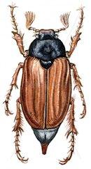 Maikaefer freigestellt Insekt