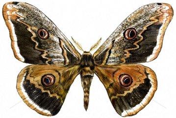 Nachtpfauenauge Schmetterling freigestellt