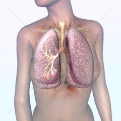 Lunge Medizin Frauenoberkoerper