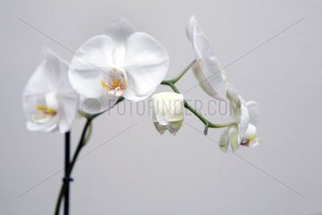 Berlin  Deutschland  Orchideen