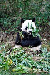 FRANCE-SAINT-AIGNAN-ZOOPARC DE BEAUVAL-PANDA BABY-YUAN MENG