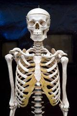 Berlin  Deutschland  Skelett im Hoersaal der Anatomie in der Charite