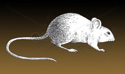 Weisse Maus seitliche Ansicht