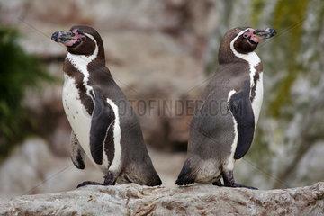 Humboldtpinguin (Spheniscus humboldti) - Humboldt penguin (Spheniscus humboldti)