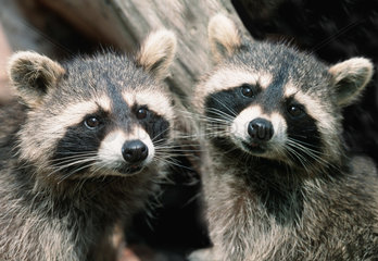 Waschbaer / Common Raccoon / Procyon lotor