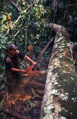 Faellen eines Edelholzes im brasilianischen Urwald