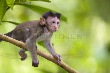 Langschwanzmakak  Javaneraffe  Baby  Macaca fascicularis  Long-tailed macaque
