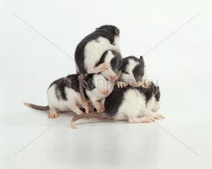 Babyratte  Babyratten  Farbratte  Hausratte  Petrat  young rat  rats  household  domestic  pets  rattenfoto  rattenfotos