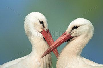 White stork  Weissstorch  Ciconia ciconia  Weisstorch