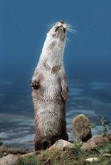 European Otter / Europaeischer Fischotter