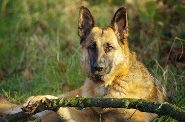 Deutscher Schaeferhund