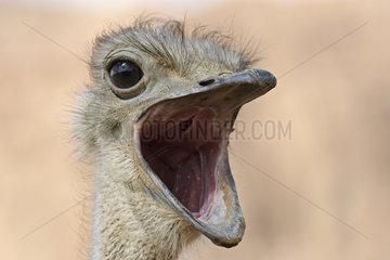 Afrikanischer Strauss (Struthio camelus)  Portrait  Namibia  Afrika  ostrick  Africa