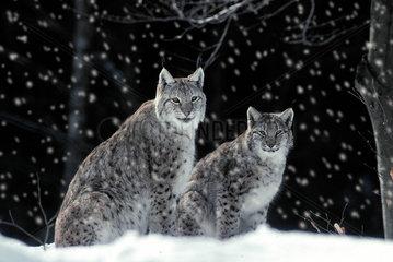 Luchs / lynx