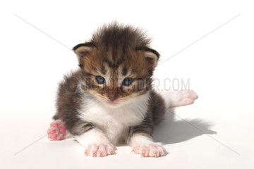 Maine Coon Kaetzchen  Kitten  young Cat