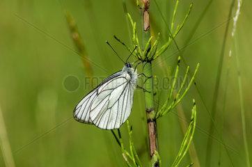 Baum-Weissling  Black-veined White (Aporia crataegi)