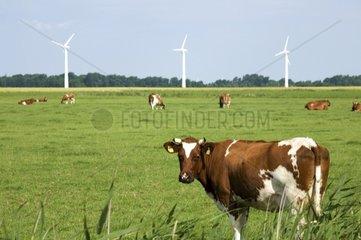 Windkraftraeder mit Kuehen