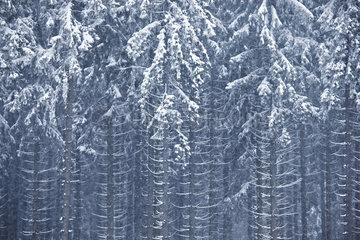 Tannenwald im Schnee  Gusenburg  Rheinland-Pfalz  Germany
