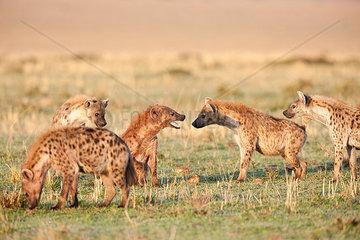 Junge Tuepfelhyaenen attakieren einen Eindringling