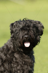 Bouvier des Flandres  Bouvierhunde  Bouvierhund  Bovuier  dog  dogs  bouviers