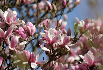 Stuttgart  Deutschland  Magnolienblueten im Maurischen Garten der Wilhelma