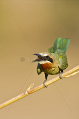 Weissstirn Spint  Bienenfresser (Merops bullockoides)  Chobe National Park  Botswana  Afrika  White-fronted Bee-eater  Africa