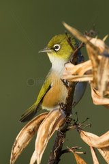 Mantelbrillenvogel  Zosterops lateralis  sitzt auf verbluehtem Neuseeland-Flachs im ersten Morgenlicht  Coromandel-Halbinsel  Nordinsel  Neuseeland  Silvereye  Waxeye  Zosterops lateralis  sitting on a faded New Zealand Flax plant in early morning light.
