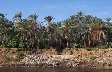 Nilufer Dattelpalmen Aegypten