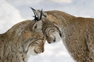 Luchspaerchen  schmusen  Europaeische Luchse (Lynx lynx)  Lynxes couple cuddling