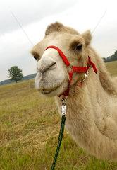 Nassenheide  Deutschland  Kopfportraet eines Kamels
