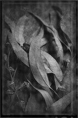 Eukalyptus Stillleben