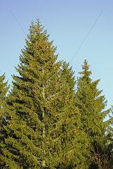 Fichten  Picea  mit Fichtenzapfen vor blauem Himmel