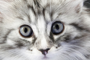 Norwegische Waldkatze  Portrait  Norwegian Forest Cat