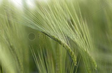 Getreidefeld im Wind