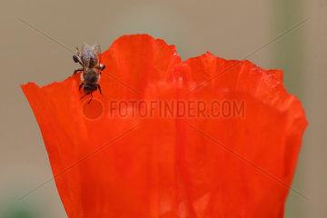 Briescht  Deutschland  Honigbiene sitzt auf einer Mohnbluete