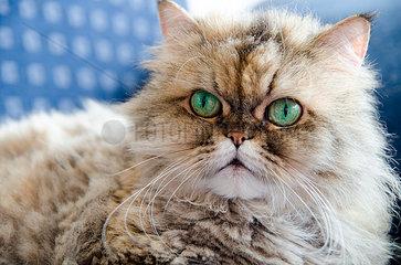 Langhaar Katze mit gruenen Augen  Golden shaded Grey