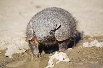 Guerteltier (Dasypodidae)  Halbinsel Valdes  Argentinien  Amadillo  peninsula Valdes  Argentina