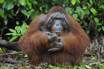 Borneo-Orang-Utan Maennchen / Orangutan / Pongo pygmaeus